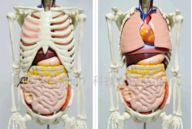 产品名称: 人体骨骼与内脏关系模型 产品货号: wi106724 产 地: 国产 此款人体骨骼与内脏关系模型为自然大的1/2,高约850mm,立于底座支架上,适用于医学、生物学和体育专业讲解人体解剖中的运动系统、消化系统、呼吸系统时作示教教具。 模型尺寸:高85cm 模型材质:进口PVC材料 显示内容: 1、主要显示人体除听小骨、舌骨以外的人体全身骨骼及胸腹,盆腔主要器官,分别显示颅骨(水平切)、躯干骨、上肢骨和下肢骨。 2、在胸腔、腹腔和盆腔分别显示左右两肺,支气管、心脏、肝、胃、肠、胰、膀胱等人体主要