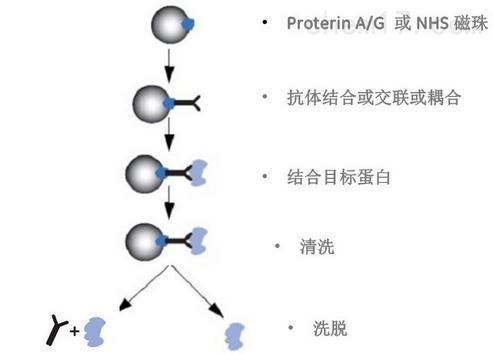 co-ip染色质免疫共沉淀