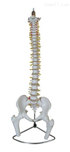 脊柱带骨盆附半腿骨模型(不可弯曲) 人体各大器官
