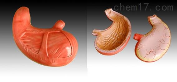 胃解剖模型  人体各大器官