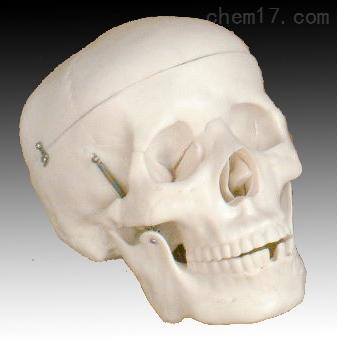 自然大头骨模型  人体各大器官