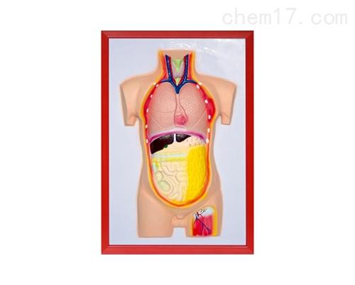 人体内脏浮雕模型