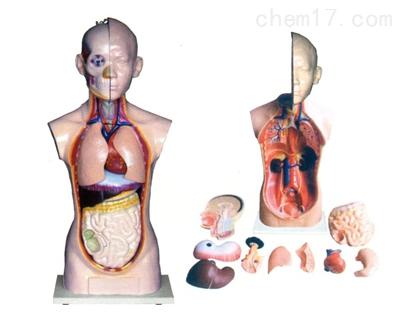 人体头、颈、躯干模型