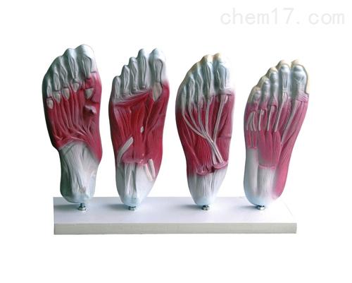 足底肌肉解剖模型