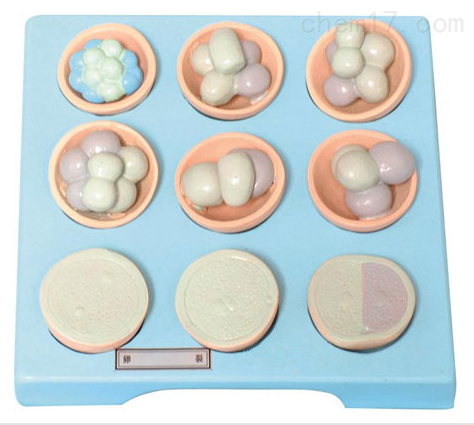 卵裂(每套9只) 生物模型