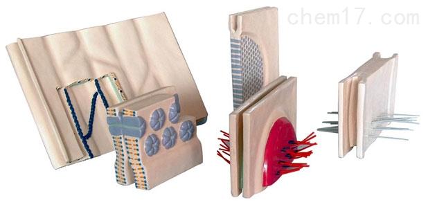 上皮细胞的侧面连接(5部件) 生物模型