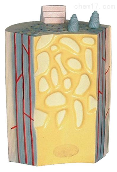 长骨骨干及骨板结构模型 生物模型