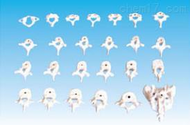 颈、胸、腰椎骶骨模型(26快)  教学模型