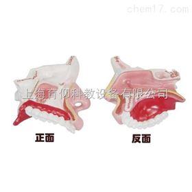 鼻腔解剖模型|脉管感觉系统模型