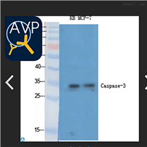 STJ92021Anti-Caspase-3 antibody
