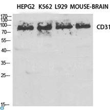 Anti-CD31 antibody--STJ92117