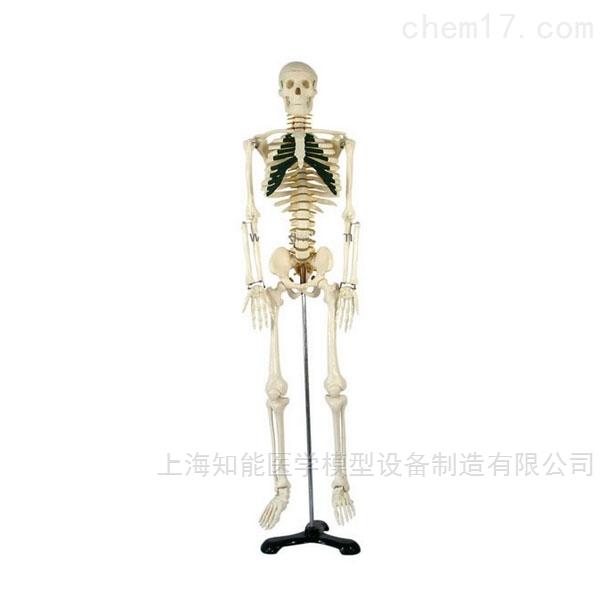 带神经人体骨骼模型