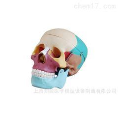 自然彩色成人头骨模型