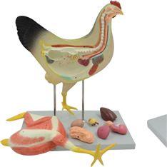 鸡解剖模型