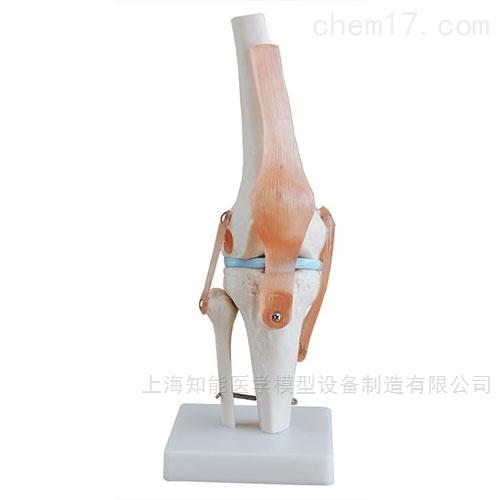 自然大膝关节骨骼模型