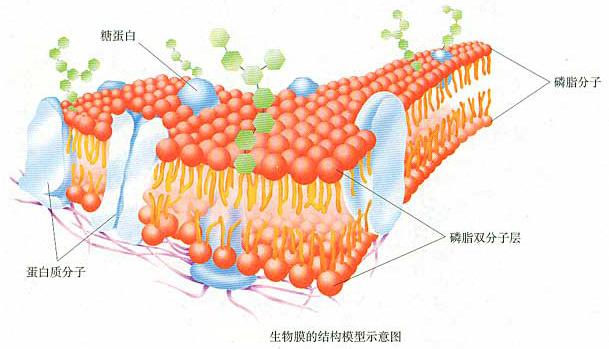 细菌,生物膜