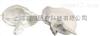 SMD011颞骨  教学模型