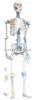 SMD025人体骨连接模型  教学模型