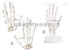 手骨(A、B)  教学模型