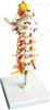 SMD01541枕骨颈椎和椎动脉脊神经脑干模型 教学模型