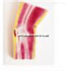 SMD02529肘关节剖面模型  教学模型