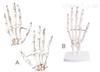 SMD019手骨(A、B) 教学模型