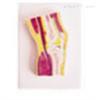 SMD02559膝关节剖面模型  教学模型