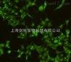 稳定细胞株的筛选实验外包
