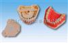 仿真标准牙模型口腔系列